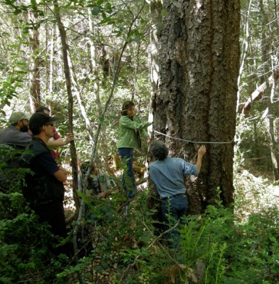Measuring Douglas-fir tree, photo by Richard Gienger
